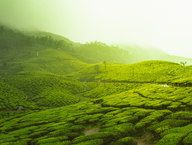 munnar-tea-estate