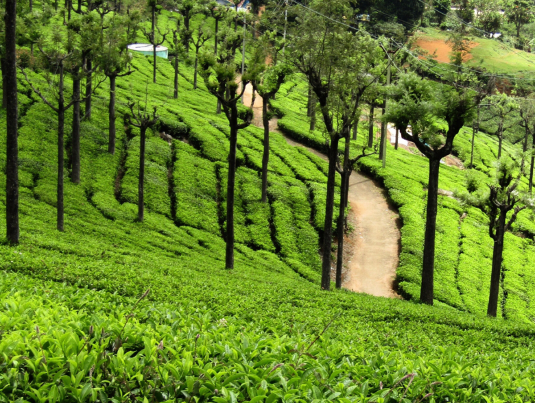 Ooty-tea-estate